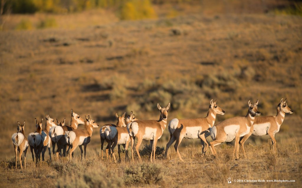 USA, Wyoming, Yellowstone, National Park, UNESCO, World Heritage, herd of Pronghorn antelopes in the Lamar Valley,