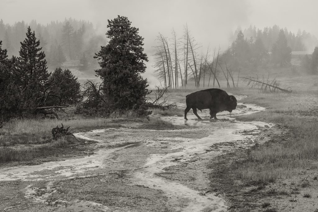 USA, Wyoming, Yellowstone, National Park, UNESCO, World Heritage, Bison at Upper Geyser basin