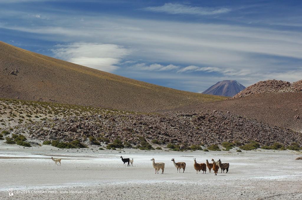 Llamas, ,Lama glama, Machuca near San Pedro de Atacama, Altiplano, Antofagasta, Chile