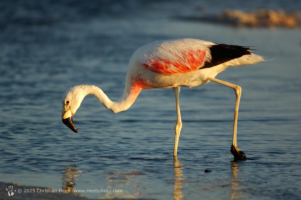 Flamingo, (Phoenicopterus ruber) Laguna de Chaxa, Reserva Nacional Los Flamencos, San Pedro de Atacama, Altiplano, Antofagasta, Chile