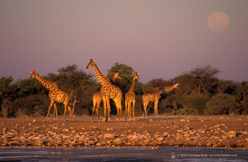 Giraffe (Giraffa camelopardalis) Klein Namutoni Waterhole, Etosha National Park, Namibia, Africa