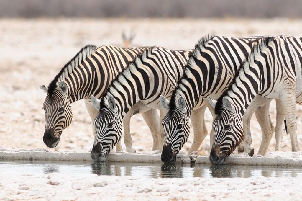 Zebra (Equus burchelli), Etosha National Park, Kunene Region, Namibia